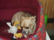 Langhaar Chihuahua Hündin