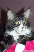 Typvolle Maine Coon Joungster`s