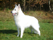 Deckrüde - Weißer Schäferhund
