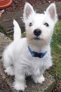 männlichen und weiblichen Westen Highland Terrier
