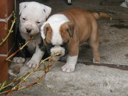Amerikanische Bulldogge Welpen