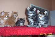 13464449.jpg - 5 sueße Maine Coon Kitten abzugeben