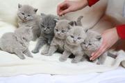 Süße BKH Babys
