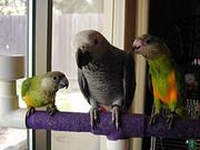 PARROTS.jpg - Papageien zu verkaufen (African grau, grau KONGO u