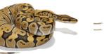 Bälleriesenschlangen und andere Riesenschlangen zu