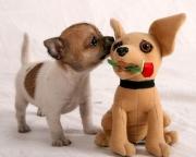 chihuahua-puppy.jpg