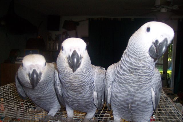 African grey parrot (1).jpg