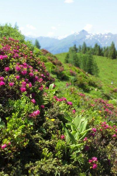 Alpenrosen bearb..jpg
