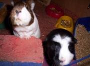 Jennys Meerschweinchen 002.jpg
