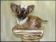 lili.jpg - Teetasse Chihuahua Welpen zu verkaufen.
