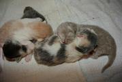 18.01 004.JPG - BKH - Kitten mit Papieren suchen ein neues Zuhause