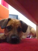 Boxer-mix Hundin in liebevolle Haende ab zu geben!