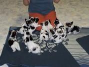 cache_2414621863.jpg - Biewer und Yorkshire Terrier Welpen (2 Rüde/ 3 Hün