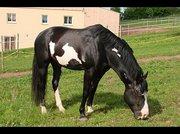 blackie6.jpg - Bildhübscher Paint Wallach zu verkaufen