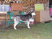 Siberian Husky 2010 Wurfplanung