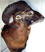 Muffelwidder rechte Seite.jpg - Tierpräparat Muffelwidder