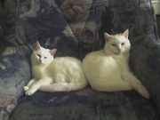 Verschenke Katzenpaar aus Chemnitz