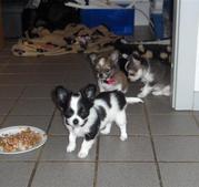 Chihuahua Welpen für die neuen Häuser.