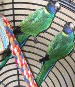 Bauers Ringsittiche mit Vogelpass