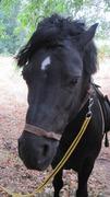 Ponyhengst sucht Weideplatz