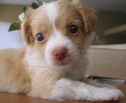 Chihuahua Welpen zum Verkauf