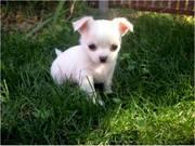 mini-chihuahua-welpen-foto-bild-44189521.jpg - süße Chihuahuawelpen