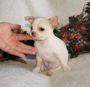 Chihuahua Welpen!!-ch2.jpg