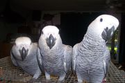 4 Junge extrem zahme Graupapageien in kürze abzug-African grey parrot (1).jpg