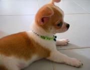 Ray (4).jpg - Chihuahua Rüde, wunderschön,