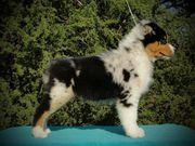 17958505.jpg - Wunderschöne Australian Shepherd Welpen aus Topver