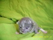Katzen 3 Wochen 014.jpg - Ragdoll Mink Solid