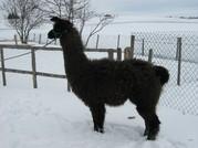 Feli1klein.jpg - Lamastute, wooly, dunkelbraun