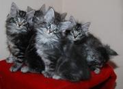 Sie suchen die besten Norwegischen Waldkatzen?
