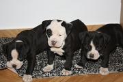 ddd.jpg - Wunderschöne Englisch Bulldog Welpen 8 Wochen