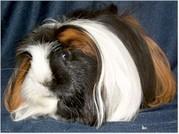 wunderschöne Rassemeerschweinchen