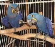 mik and mikky.jpg - Ein Paar von Papageien braucht einen neuen Haus- (