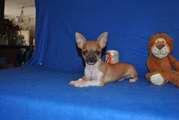 reinrassiges Chihuahua-Welpen-kenny (6).jpg