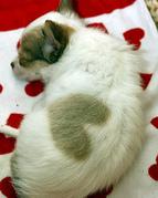 2 Chihuahua Welpen zu verkaufen