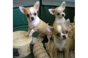 Chihuahua Welpen m. VDH/FCI-Papieren