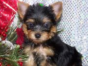 cute-and-adorable-yorkie-puppies-for-adoptionfree_20090916041248_bbbbbb.jpg - Yorkie Welpen ein neues Zuhause