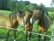 Pferd__Pferde__Weide__Wiese__braun__Tiere__Haustiere__Bauernhof__Reiterhof__Rassen__Nahaufnahme_.jpg - Das Pferdeparadies braucht Ihre Hilfe