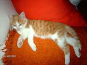 Katzen 007.jpg - süsser rot/weißer kl.Kater abzugeben