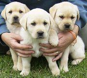 Labrador-Welpen mit Papieren in den Farben Braun