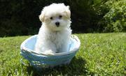431355_-tea-cup-maltese-puppies-for-sale-male-female-1-3-bristol_photo_1_1404288041_big.jpg - Zuckersüße Mini Malteser in liebevolle! !