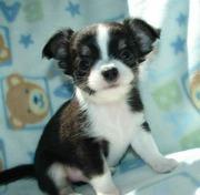 Typvolle Chihuahua Welpen..suchen Traumplatz !!!!