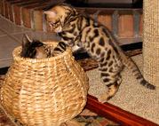 Bengal Kätzchen zum Verkauf.