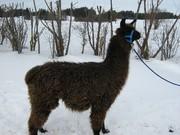 Pablo1klein.jpg - Lamahengst, wooly, braun