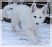 Weisse  Schäferhund Welpen