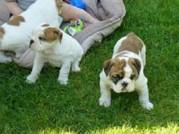 Englisch Bulldogge Welpen für den Verkauf
