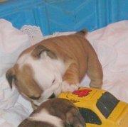 Englisch Bulldoggen bereit für neue Wohnungen.